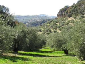 olive trees near Illora